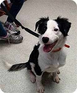 adoptable border collies