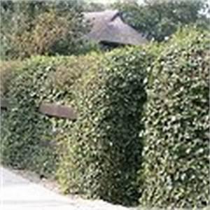 Sichtschutz Schnell Wachsend : immergr ne hecke immergr ne kletterpflanzen f schmale sichtschutzhecke ~ Markanthonyermac.com Haus und Dekorationen