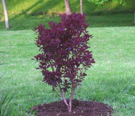 Sonoma Nursery by Plantfiles Pictures Smoke Tree Royal Purple Cotinus