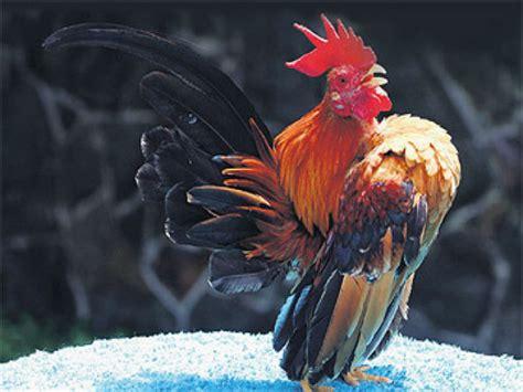 gambar ayam xtra