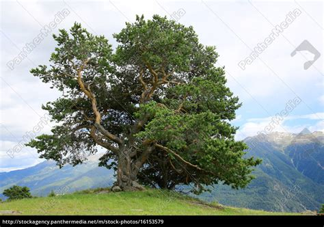 künstliche kiefer baum kiefer baum in den alpen pinaceae lizenzfreies bild