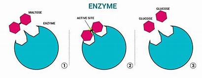 Enzymes Catalyst Enzyme Chemistry Structure Biological Maltose