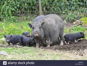 Pigs domestic pig pigs domestic domesticated farm omnivore ...