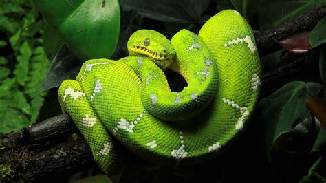 green tree python  ultra fondo de pantalla hd fondo de