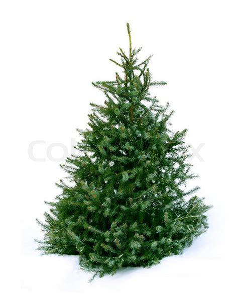 junge gr 252 ne weihnachtsbaum fichte auf wei 223 em schnee