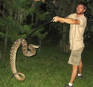 Largest Eastern Diamondback Rattlesnake