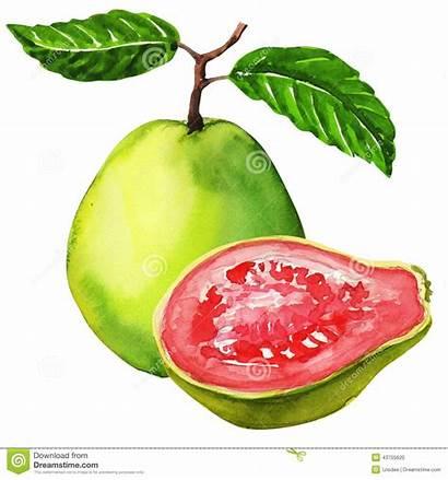 Guava Fruit Goiaba Desenho Painting Fresh Watercolor