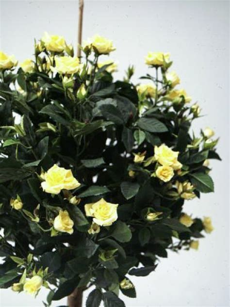 Decorative Rose Trees now in stock @ Old Plank