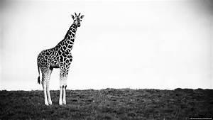 Giraffe Animal Desktop Background - New HD Wallpapers