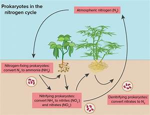 Nitrogen Cycle - Process  Steps  With Diagrams