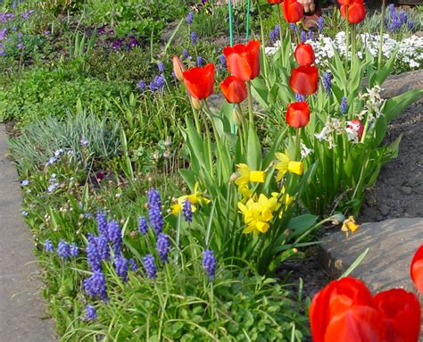 Garten Tulpen Pflanzen by Tulpen Im Garten Tulpen Pflanzen Und Pflegen Tulpen Im