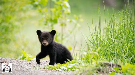 Baby Black Bear Cubs Playing Compilation