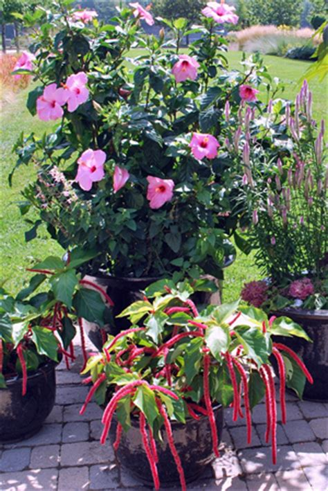 blooming hibiscus for container planting garden harvest supply
