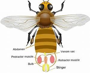 Anatomy Of The Honeybee U2019s Stinger Apparatus  The Stinger