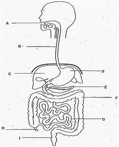 Sketch Of Human Digestive System At Paintingvalley Com