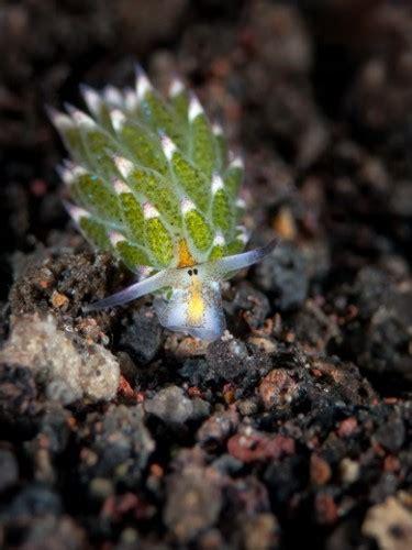 leaf sheep nudibranch grazes adorably underwater