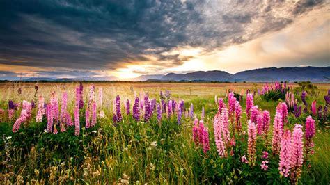 sunset scenery lupine flowers meadow field mountains dark clouds hd desktop wallpaper