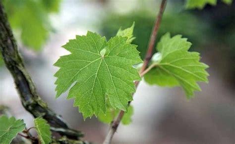 khasiat manfaat daun anggur kesehatan