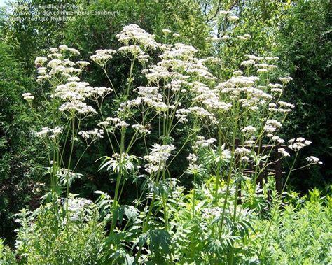 Valerian, Garden Heliotrope, All Heal