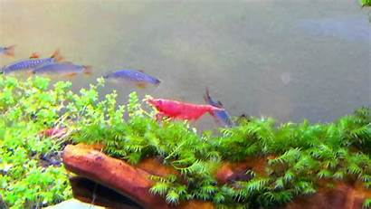 Shrimp Cherry Neocaridina Laying Heteropoda