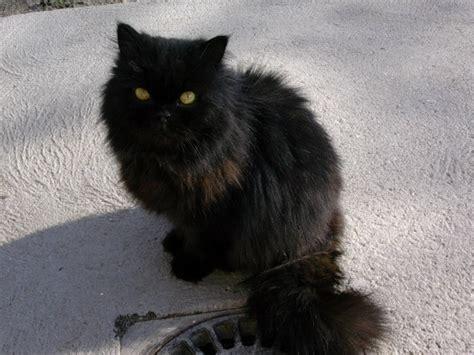 chat persan noir chats persans noir