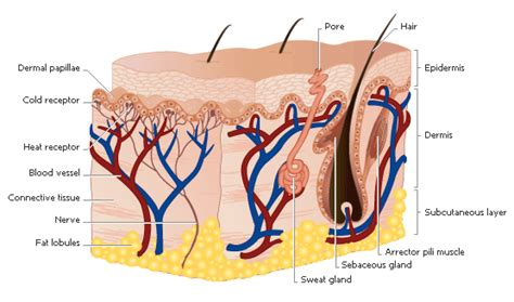 How Do Skin Moisturizers Work?