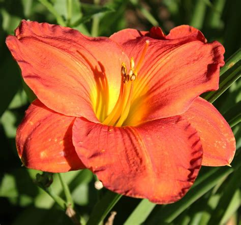 daylily colors daylilies forum colors your orange and