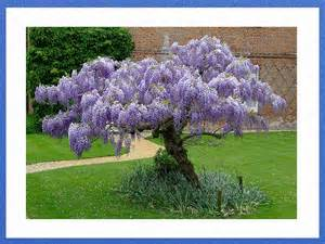 Chinese Blue Wisteria Vine Tree