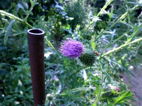 Bilder Von Disteln Im Garten » Gartenratgeber