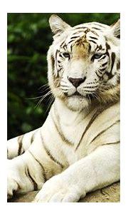 White Tiger Wallpaper Hd Resolution   Tiger wallpaper, Pet ...