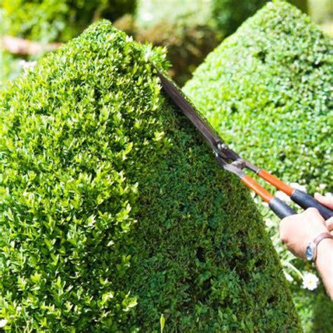 how to trim a bush evergreen shrubs shrubs and hedges on pinterest