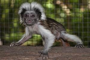 Baby Cotton Top Tamarin | www.pixshark.com - Images ...