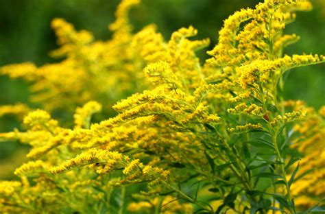 golden rod a country rose tallahassee florist state flowers tallahassee florist