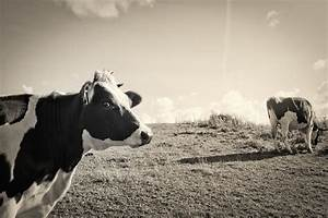 Schwarz Weiß Bilder Tiere : schwarz wei gefleckte kuh foto bild tiere natur bilder auf fotocommunity ~ Markanthonyermac.com Haus und Dekorationen