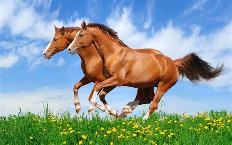 red horses galloping   field  green grass