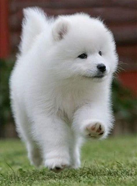 119 Best Images About Samoyed Dog On Pinterest