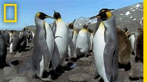 Mutant All-Black Penguin Found | National Geographic - YouTube