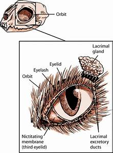 Eye Structure And Function In Cats