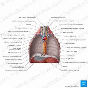 Histologie Des  U00d6sophagus