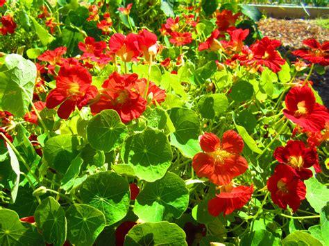 Garden Nasturtium by Annuals Gammon S Garden Center Landscape Nursery