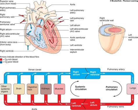heart diagram blood flow world  reference