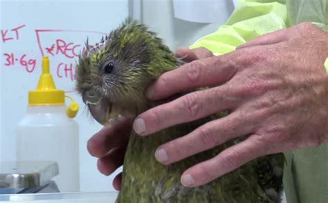 Jaunzēlandē veikta pasaulē pirmā smadzeņu operācija putnam ...
