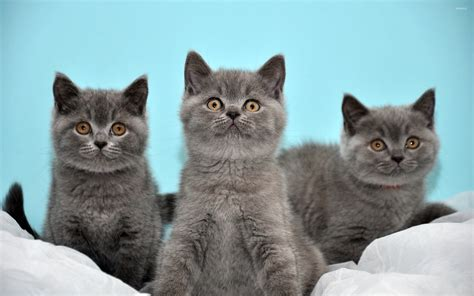 Grey Animal Wallpaper - grey kittens wallpaper animal wallpapers 17760