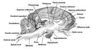 sheep brain anatomy diagram on the cutting edge exploring sheep organs carolina