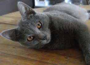 chartreux cat chartreux cat purrfect cat breeds