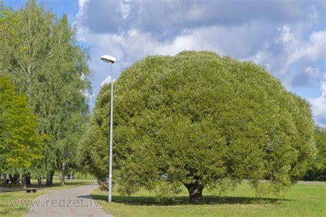 Dubna Līvānos - Vītoli (Salix) - redzet.eu