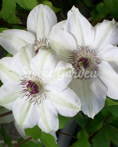 clematis  bateman sweet garden