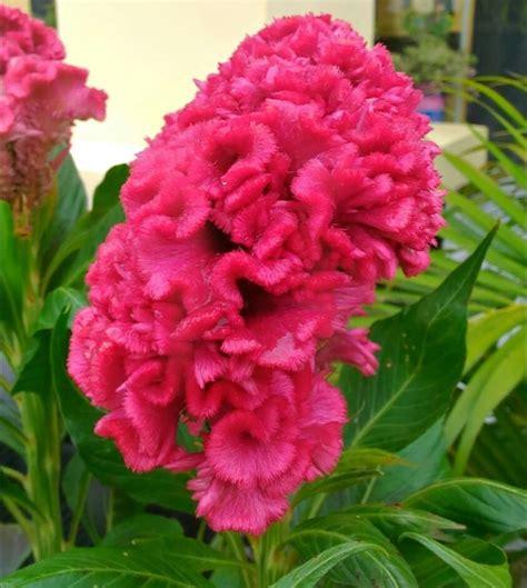 manfaat tanaman bunga jengger ayam sebagai obat alami