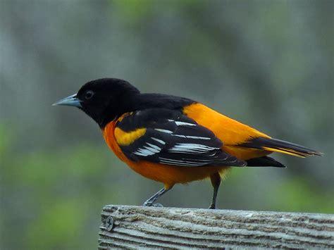 baltimore or northern oriole bird passerines 5 7 2012