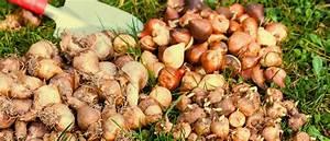 Bulbes D été : entreposage des bulbes d 39 t jardin2m ~ Melissatoandfro.com Idées de Décoration